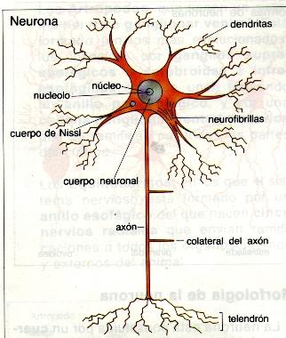 1.- Composición de la neurona