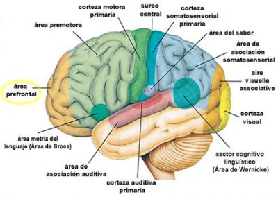 5.- Areas Cerebrales