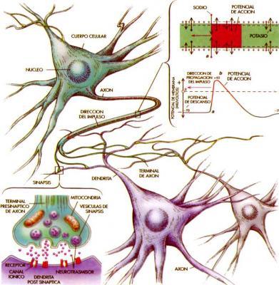 2.-Impulso Nervioso